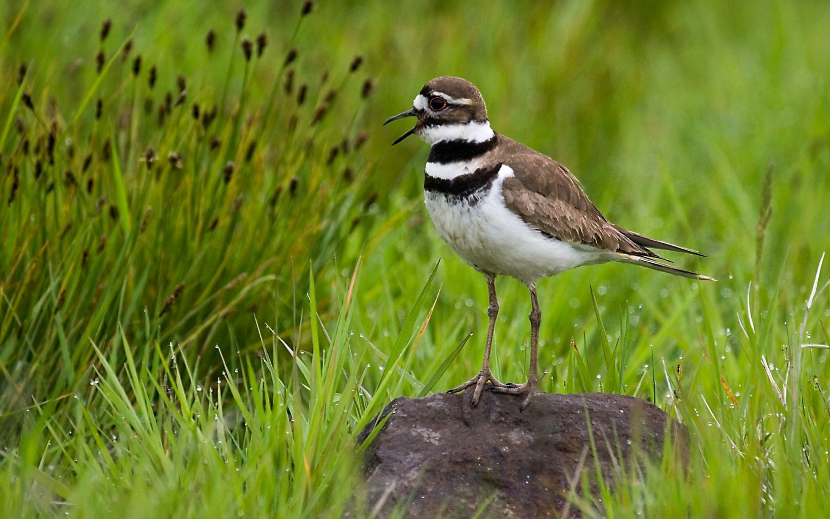 Brown and white bird with two black stripes at neck and chest stands on a small rock in a field of grass.