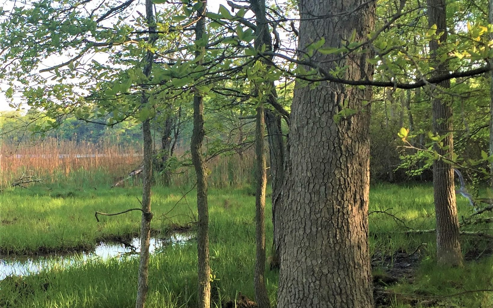 Looking through a stand of straight-trunked trees, with a green salt marsh in the background.