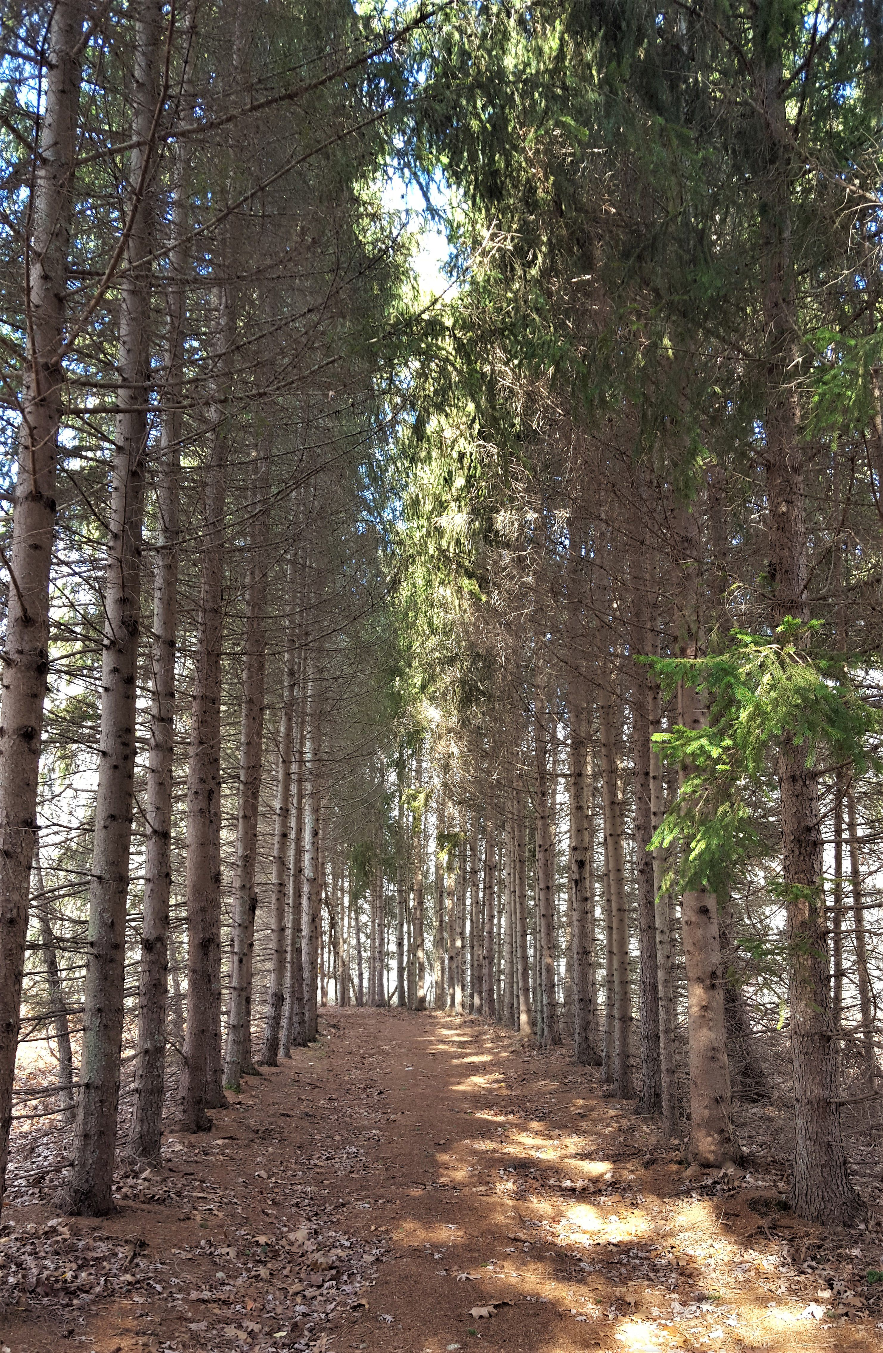 Looking through a double row of tall spruce trees, lining a narrow dirt lane.