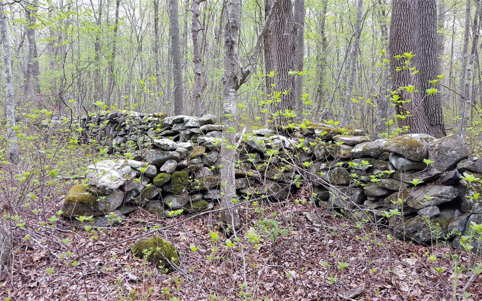 A low wall made of stacked, gray stones runs through the woods, as shrubs and trees leaf out in early spring.