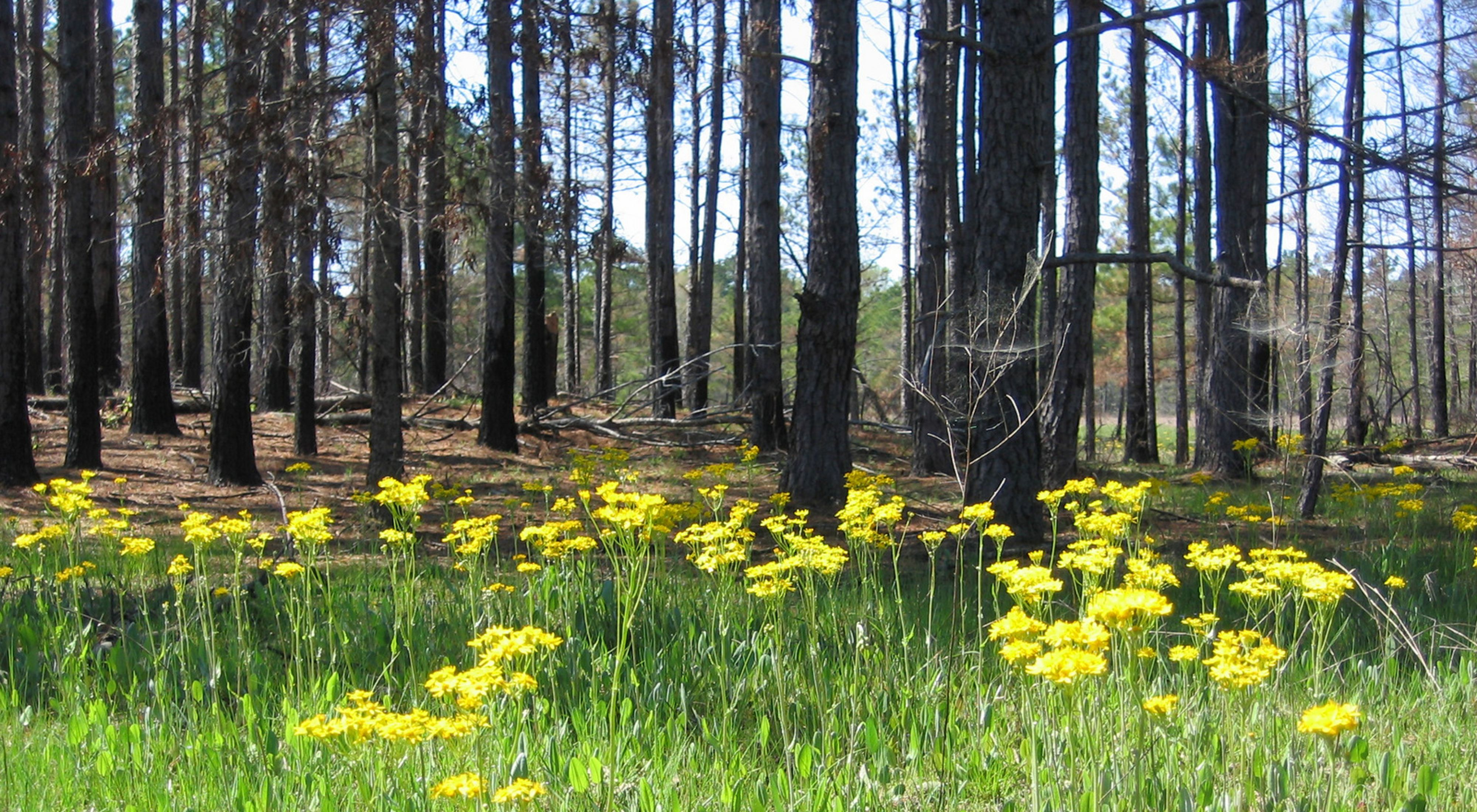 (ALL RIGHTS) The Nature Conservancy's emphasis at Kingsland Prairie Preserve is on ecologically compatible forestry: working with forest landowners to demonstrate the connections between ecosystem health and economic return. Photo (C) TNC