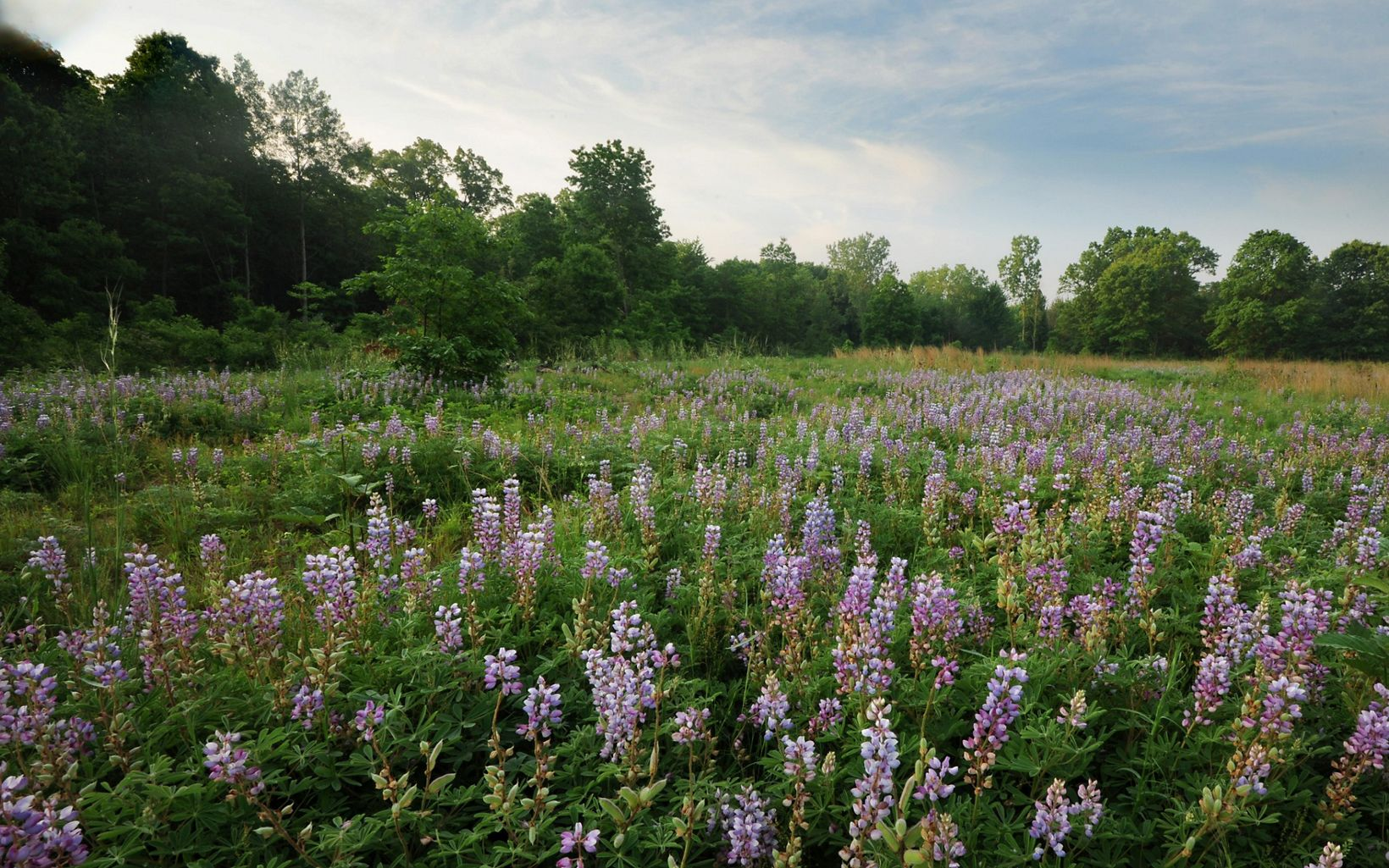 An open field covered with green foliage and purple spikes of flowers.