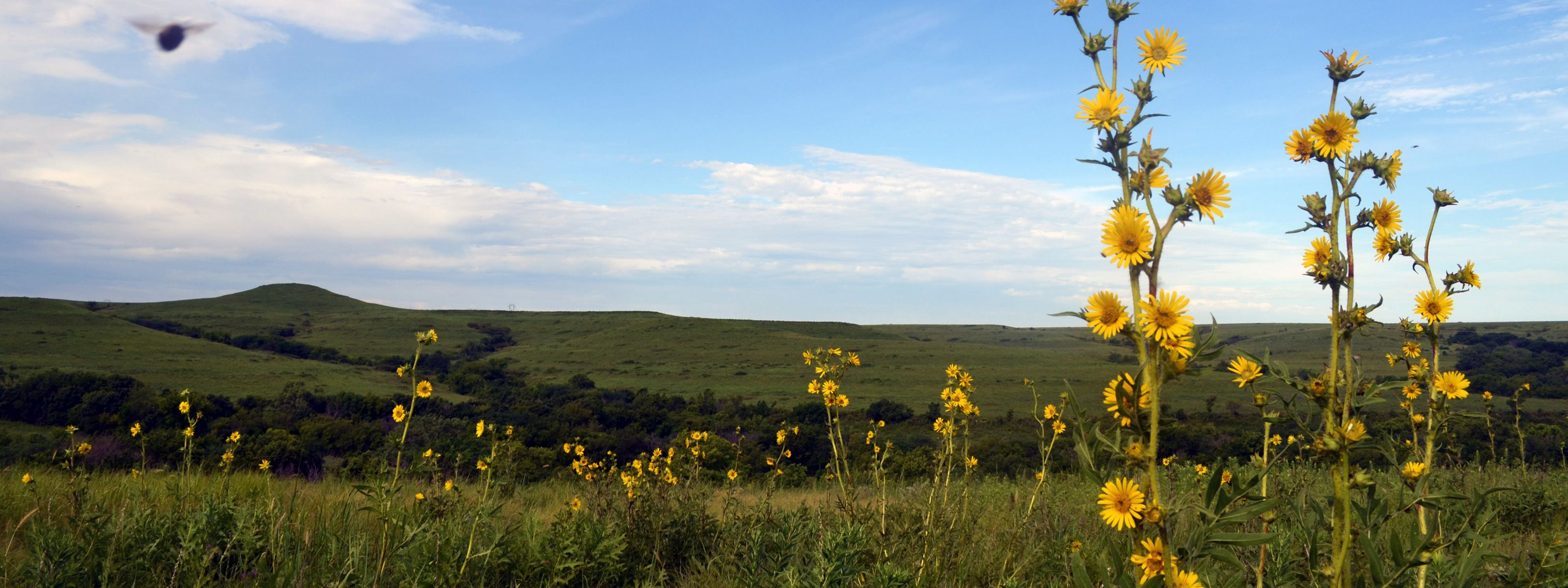 Wildflower bloom over tallgrass prairie as far as the eye can see at Konza Prairie Biological Station.