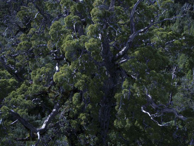 Vista aérea del antiguo bosque lluvioso templado en la Reserva Costera Valdiviana de TNC, Chile.