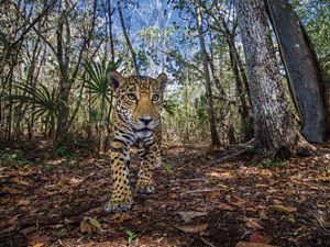 Un jaguar explora su hogar en la península de Yucatán, la cual alberga el 50% de la población de jaguares de México.