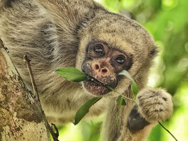 a close up photo of a woolly spider monkey holding a branch in its mouth