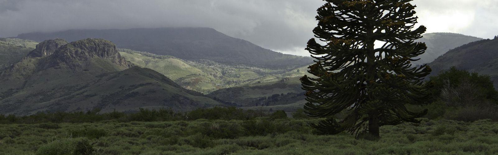 Mono rompecabezas de árboles (Araucaria araucana) en el Parque Nacional Lanín a lo largo de la frontera con Chile en la provincia argentina de Neuquén.