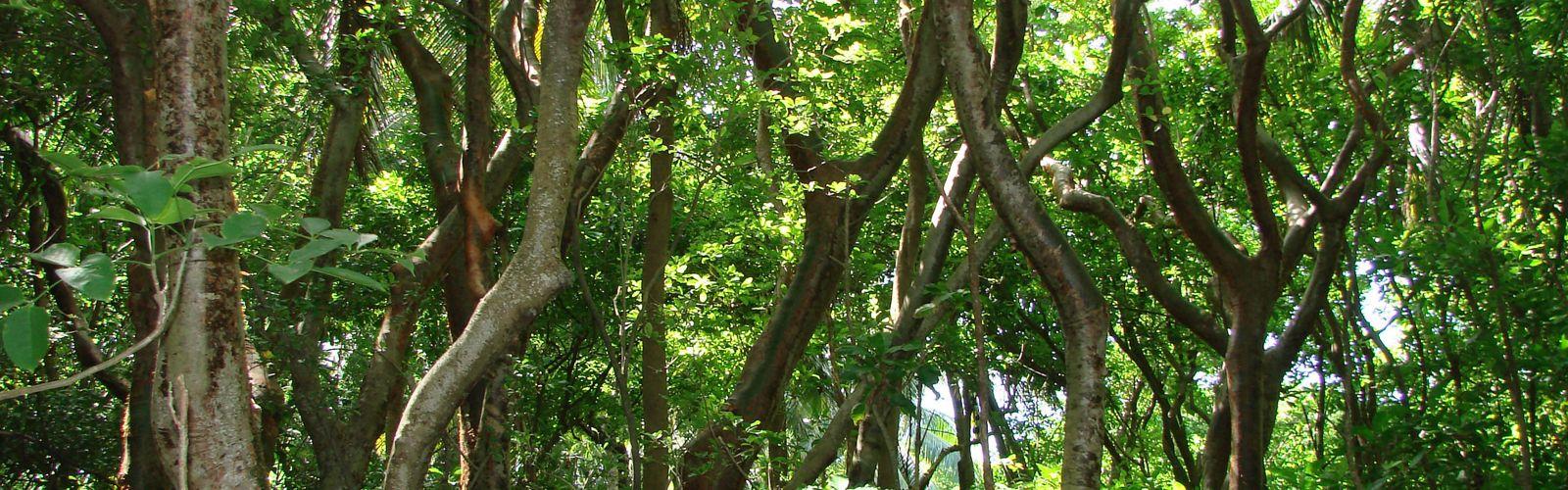 Un bosque de árboles de limbo gumbo en Half Moon Caye en el atolón Lighthouse Reef frente a la costa de Belice Central.