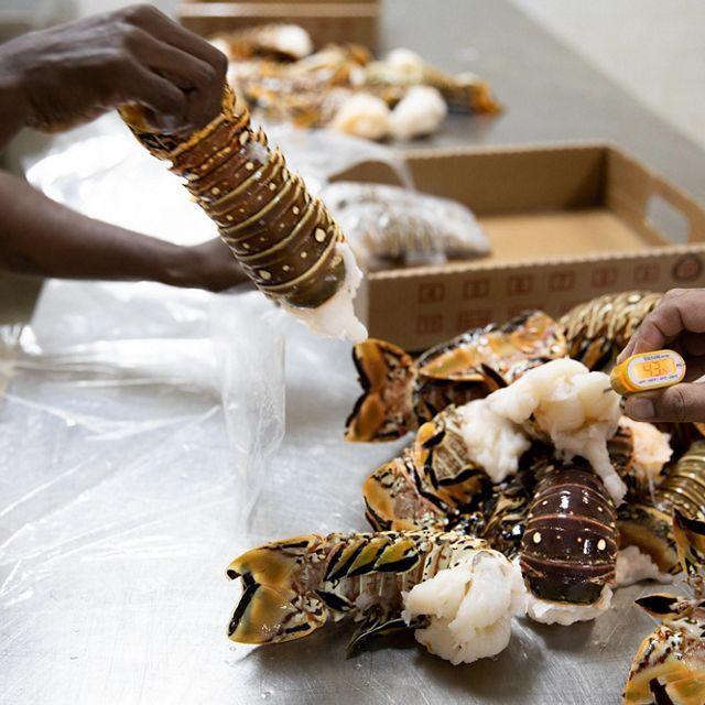 Los trabajadores del departamento de procesamiento pesan langostas en la Cooperativa Nacional de Pescadores en Angel Lane,, Belice.