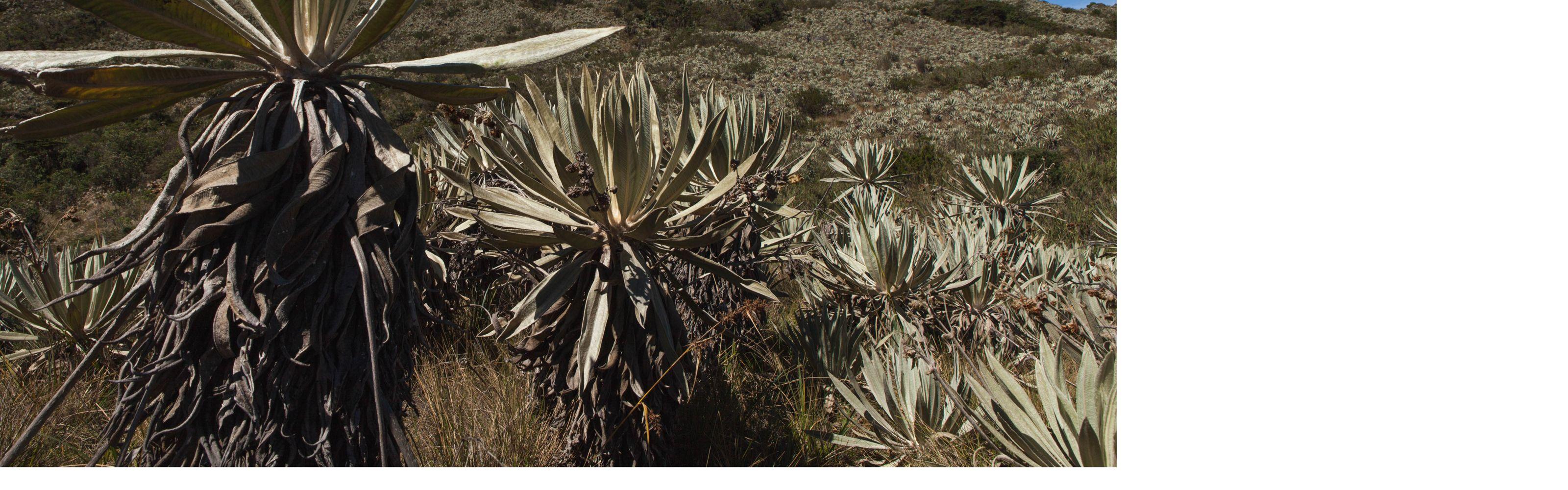 Arriba, ¿qué parece un desierto, pero está lleno de agua? ¡El ecosistema del paramo! Casi una esponja en lo alto de las montañas.