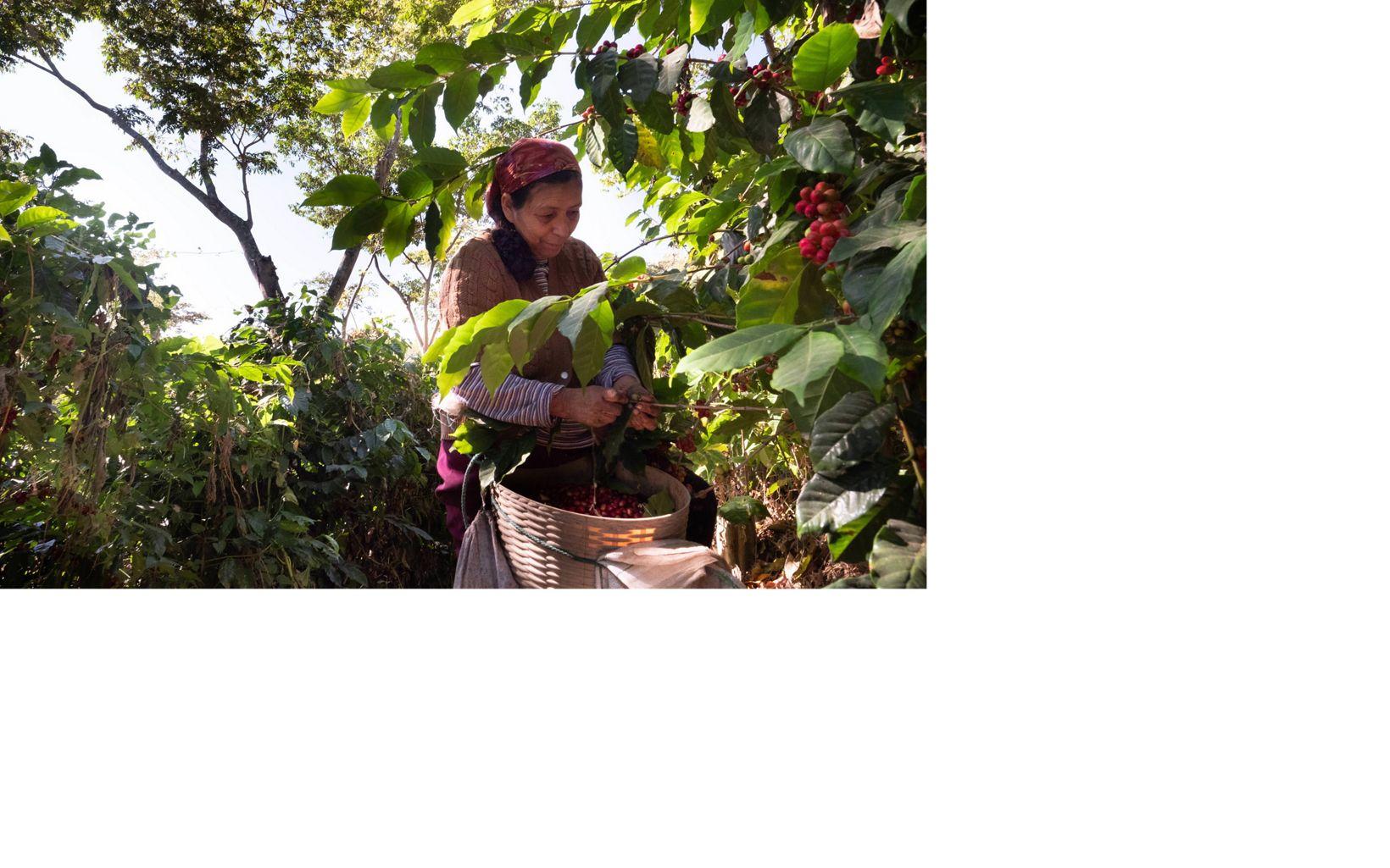 mujer cultiva café en Guatemala