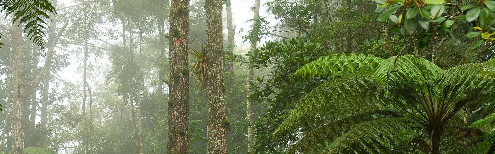 Helechos arbóreos y bromelias decoran el bosque nuboso en la Reserva Privada Sacj en el centro de Guatemala.