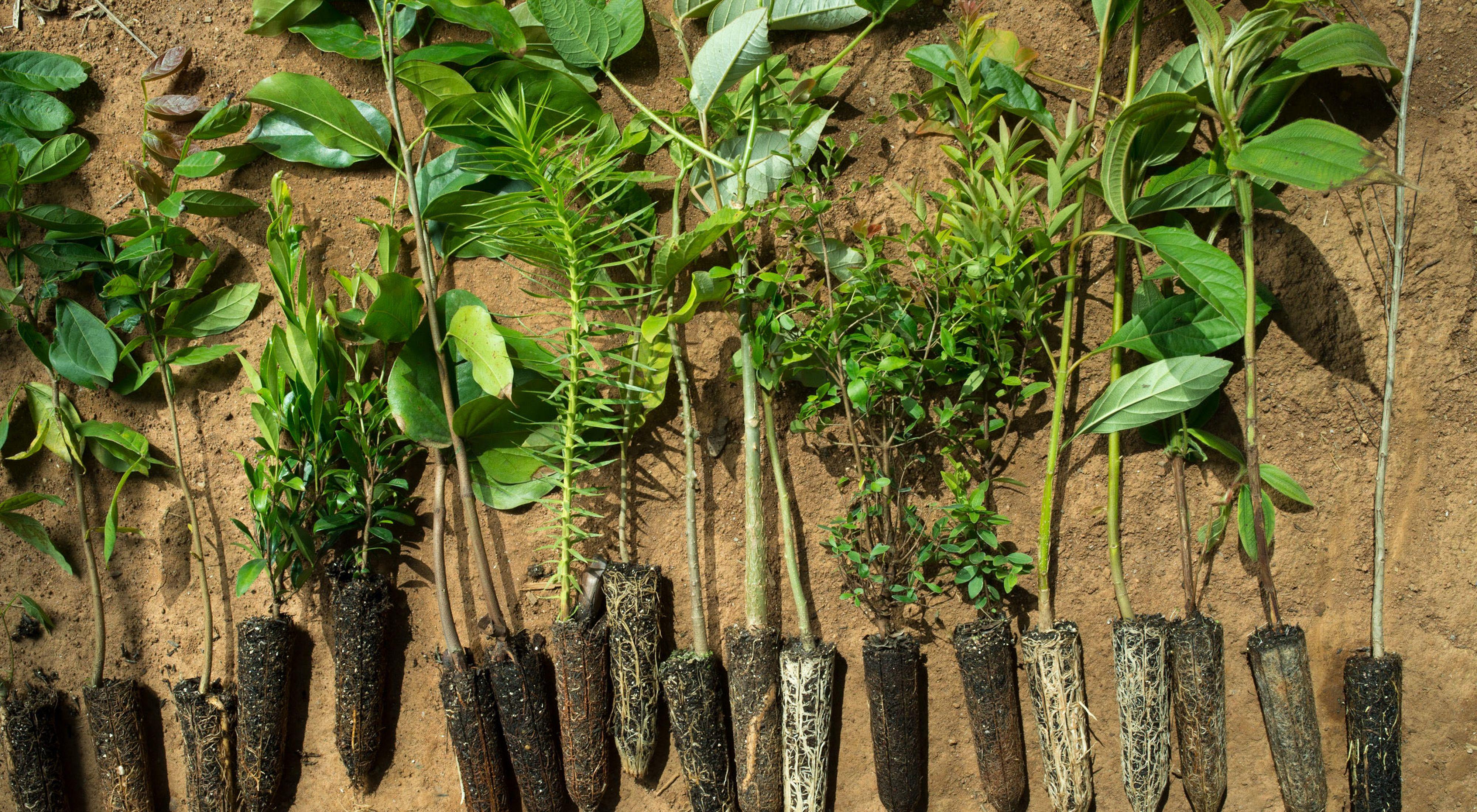Estos árboles se preparan para ser plantados en el área de Mantiqueria del Bosque Atlántico de Brasil. Programa de lucha contra el cambio climático de TNC.