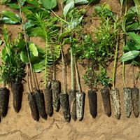 These trees are prepared to be planted in the Mantiqueria area of the Atlantic Forest of Brazil as part of TNC's climate change program.