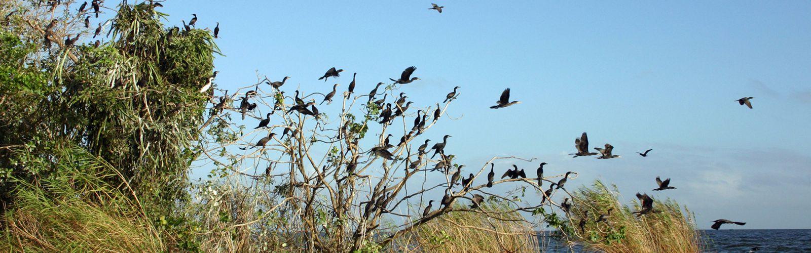 Las aves  se agrupan entre las ramas de los árboles en el lago de Nicaragua en el archipiélago de la isla de Solentiname en Nicaragua