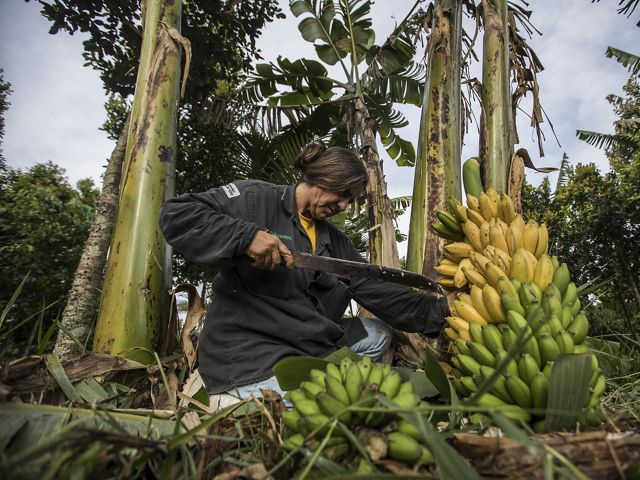 a woman kneels on the ground and uses a machete to cut a banana plant