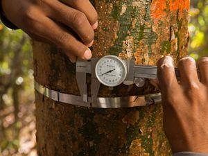 un hombre mide un árbol en la Selva Maya