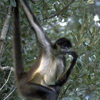 Mono araña en Belice