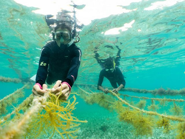 Two people in scuba gear tend strings of green seaweed underwater