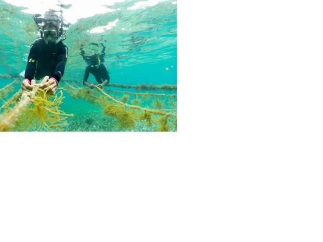 Two people in scuba gear tend strings of green seaweed underwater