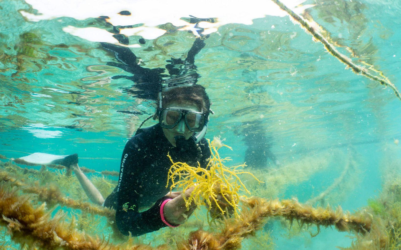 Cosecha de algas en Belice