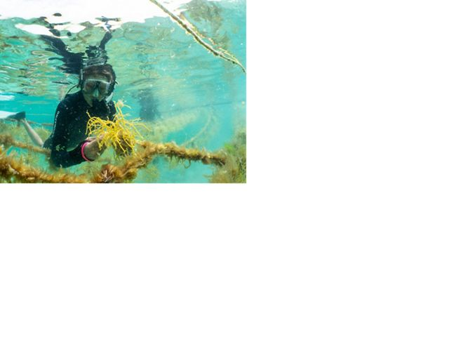 Closeup of a diver planting seaweed underwater on an aquaculture farm