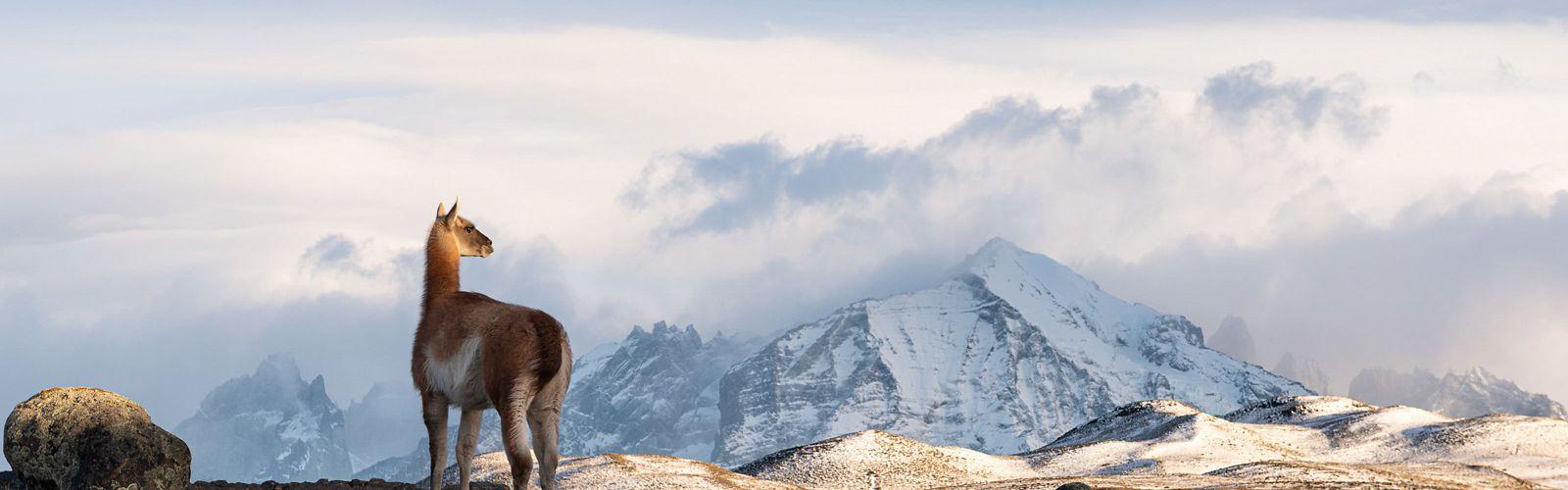 Un Guanaco observa su território en el  Parque Nacional de Torres del Paine, Chile