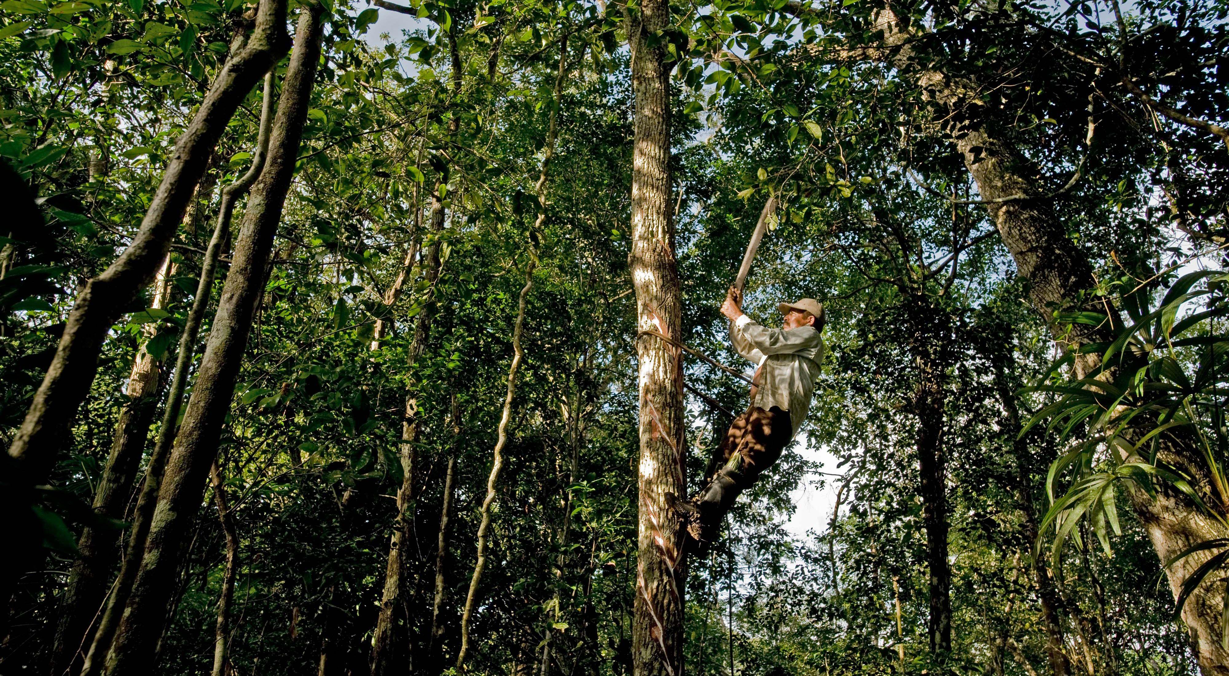 Elias Cahuich, un chiclero, golpea los árboles Sapodilla (Manilkara zapotain) para el látex blanco y gomoso llamado chicle en el bosque cerca del ejido Veinte de Noviembre