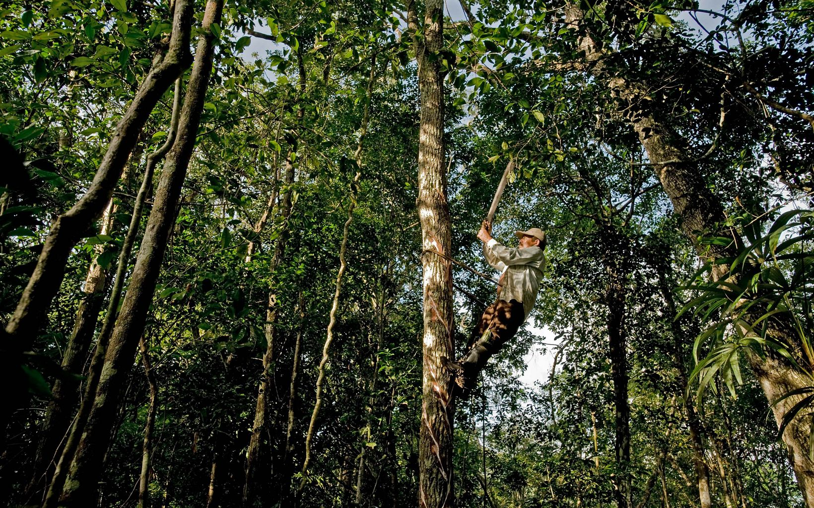 hombre trabaja en las alturas del bosque Maya
