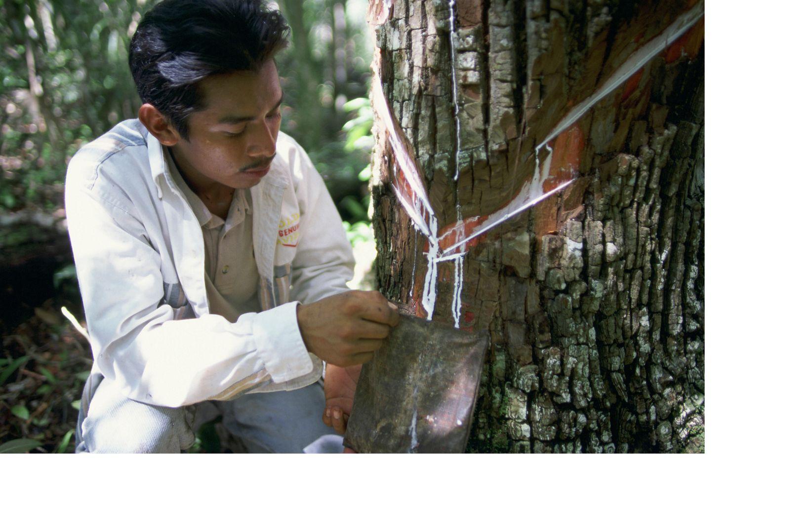 Caucho en la Selva Maya