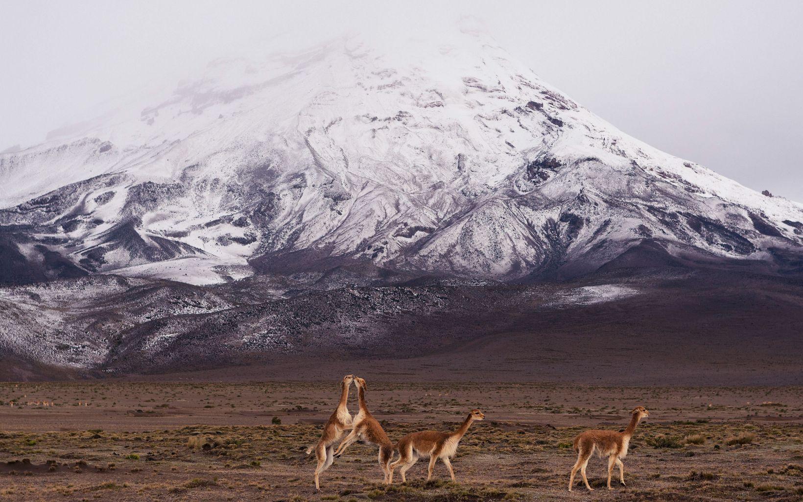 Un grupo de vicuñas juegan al frente del Chimborazo en Ecuador