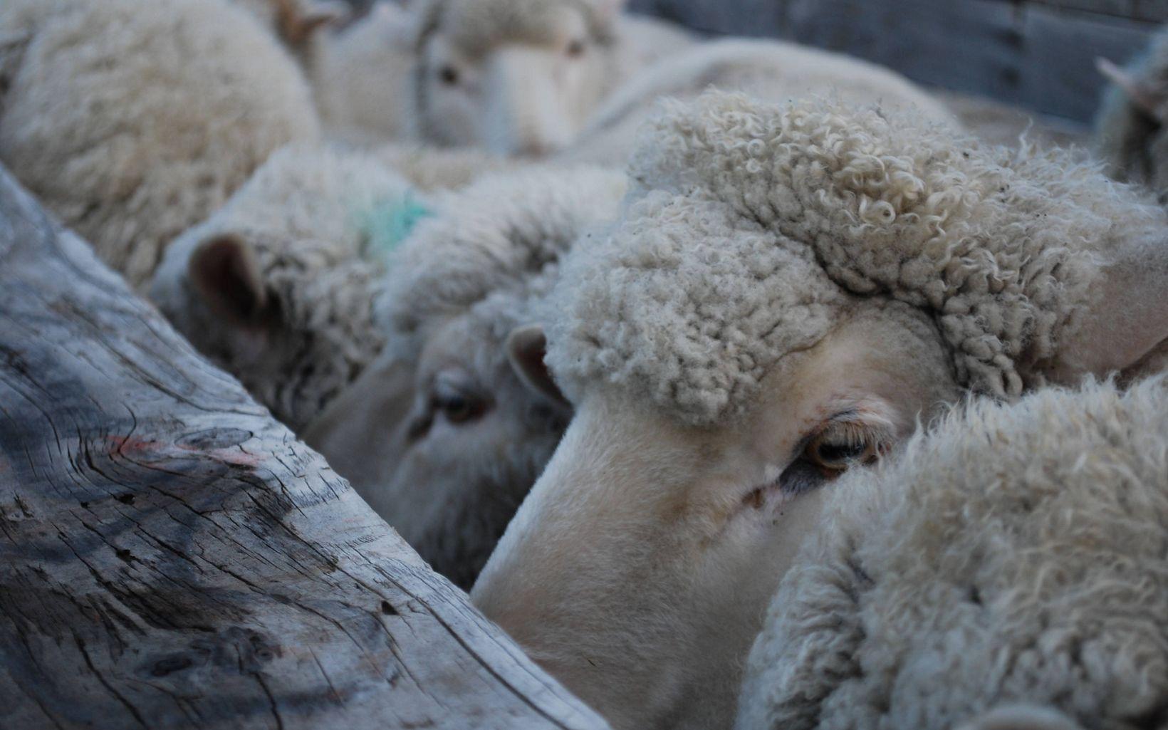 ovejas en el norte de Argentina