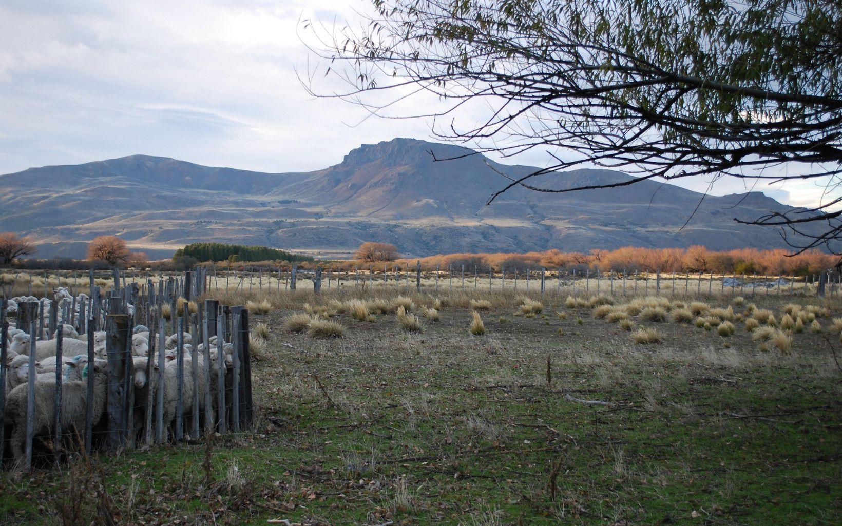 Ovejas de los paisajes de la Patagonia Norte.