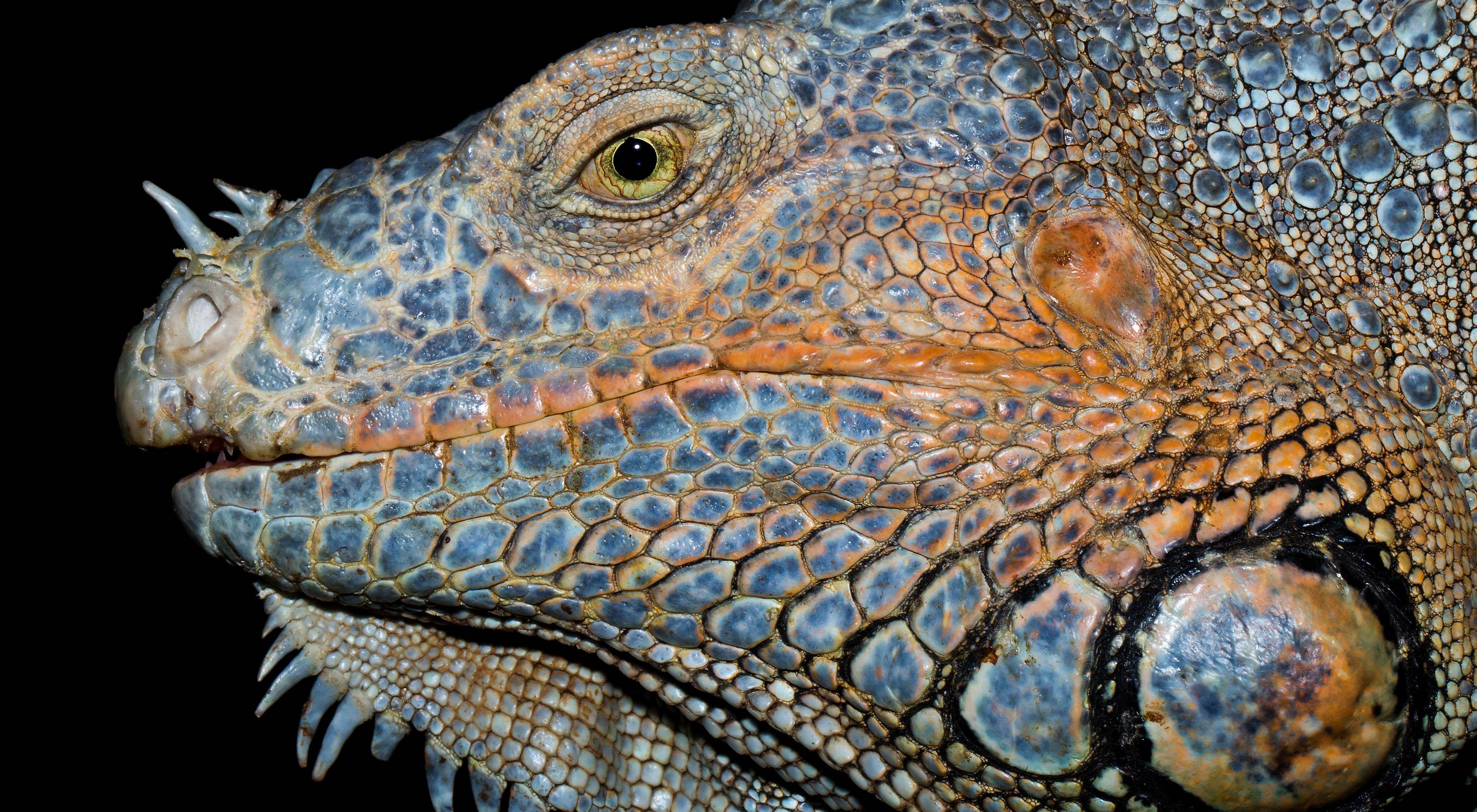 Una imagen íntima de una iguana