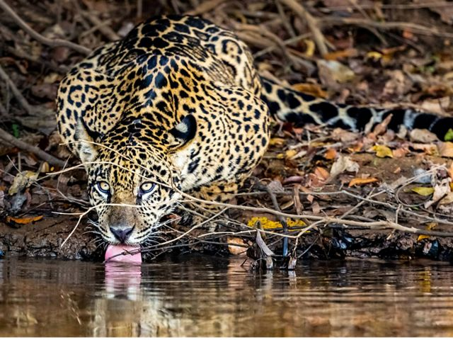 Un Jaguar toma agua en un pantano, en el río Piquiri, Brasil