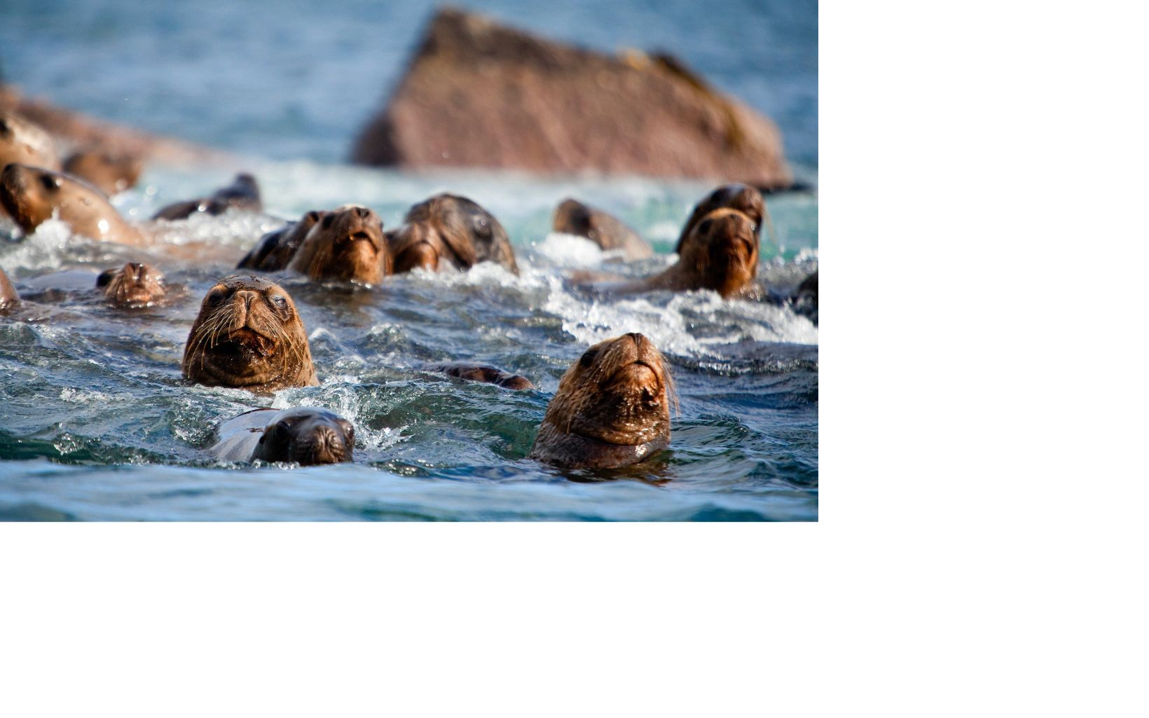 Detail of sea lions, Valdivia Coastal Reserve, Valdivia, Chile.