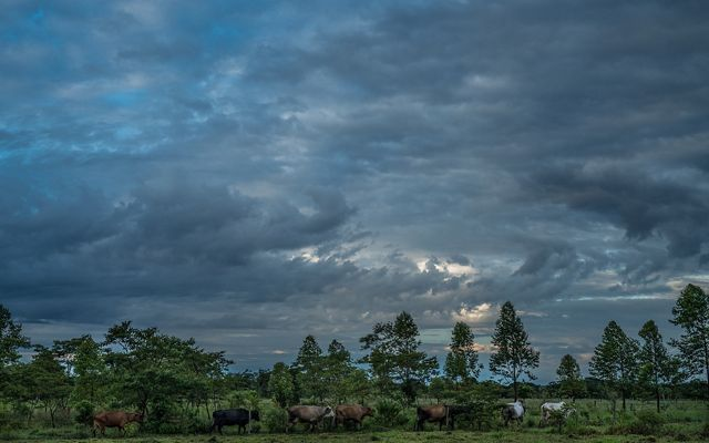 Edilson Ortiz Arango (61) with his herds or moves his cattle to be milked every morning. Edilson owns 12 cows that on average they make 20 liters that he sells for COP$ 900 per liter (USD $0.30). Edilson and his family of seven were displaced from Vista Hermosa, Meta in 1999 when the Colombian Government and FARC were undergoing peace negotiations and agreed to create a demilitarized zone in the region. FARC started to visit Edilson's farm and he fear for his safety and of that of his family and left his farm and moved to Bogota. As part of reparation program for internally displaced victims in 2004. Edilson joined the Sustainable ranching program where he has been adopting sustainable practices to increase production, profits and climate changing patterns.