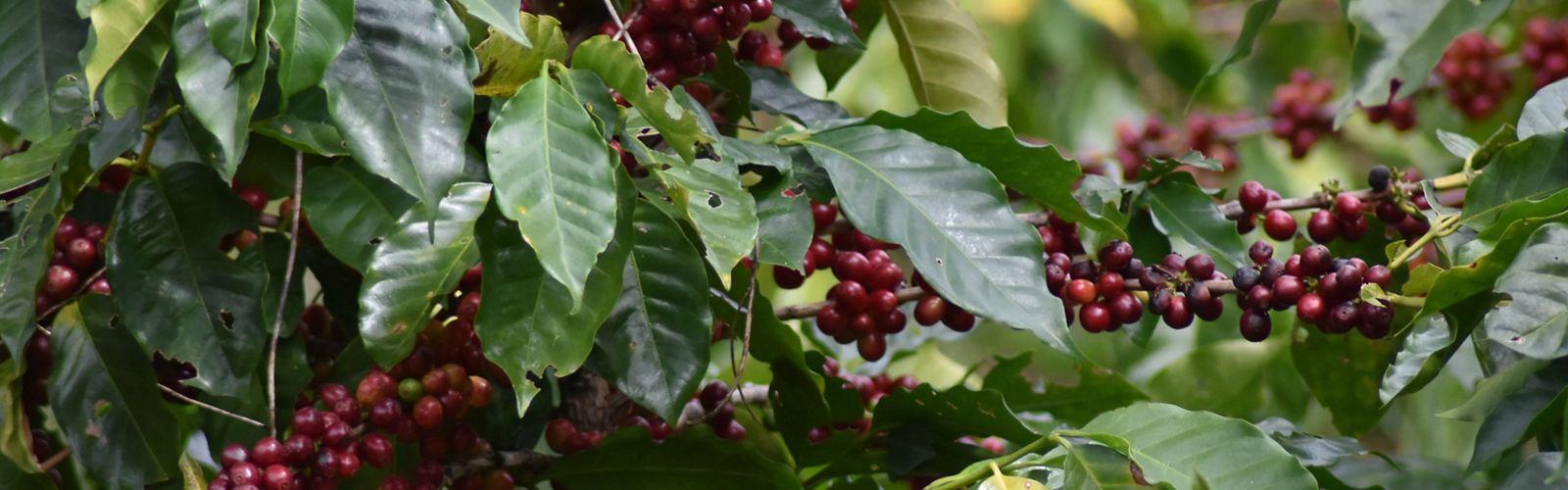 Planta de café en el Salvador