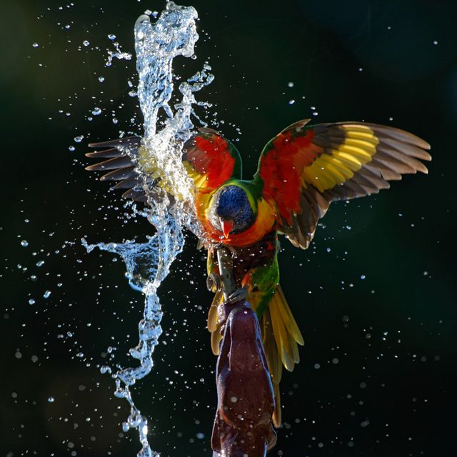 It was a hot October afternoon in Adelaide and many Rainbow Lorikeets were taking relief in the fountain at the Botanical Gardens. Some of them were just bathing or drinking from the basin but one pair was using the spout in the dragon's head to get a good soaking.