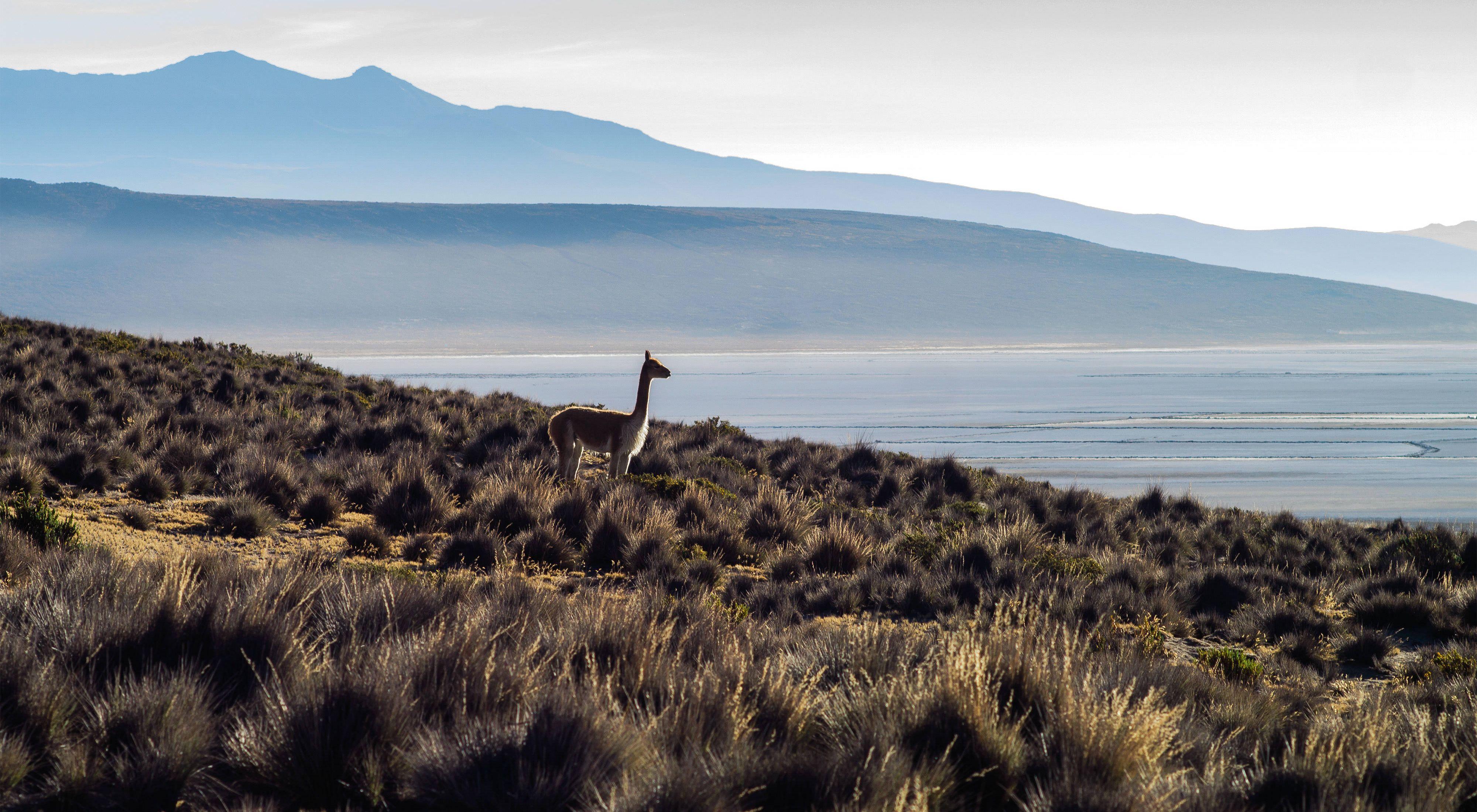 Una vicuña solitaria en la Reserva de Salinas y aguada blanca cerca a la Laguna seca.
