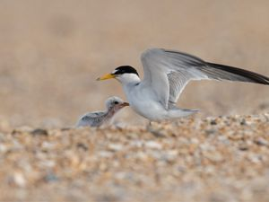 Nesting Least Tern with Chick