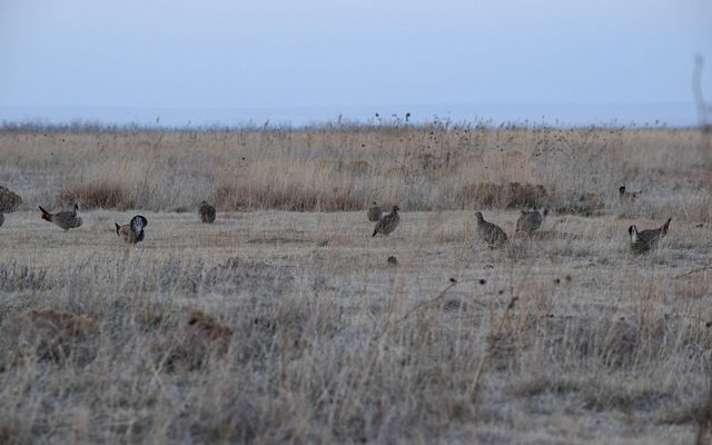 A group of about 10 prairie chickens in a field.