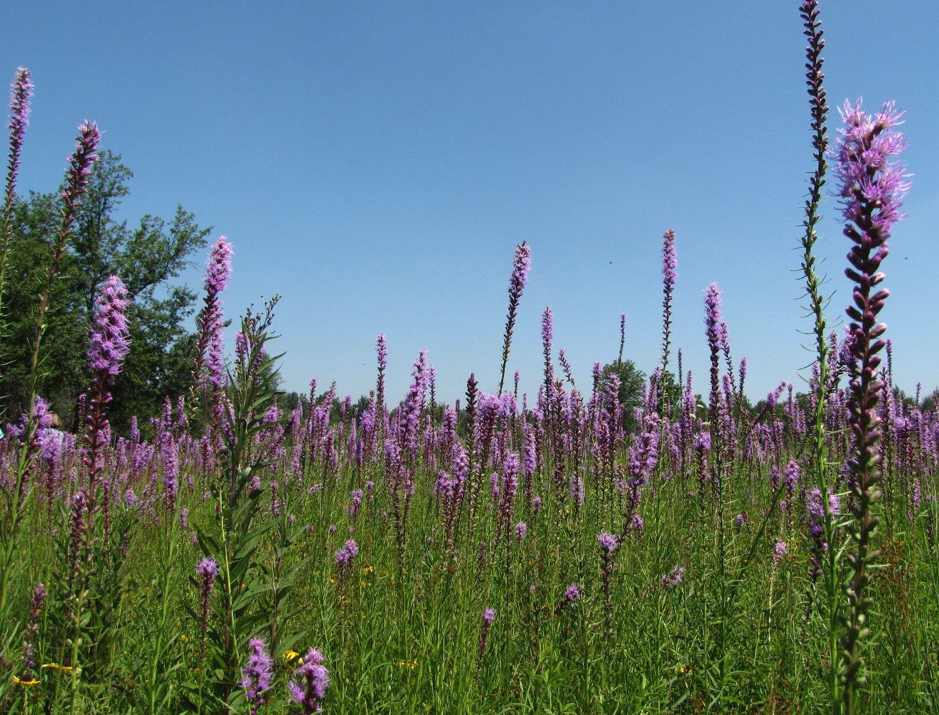 A field of purple flower spikes popping up from the open green field, blue skies above.