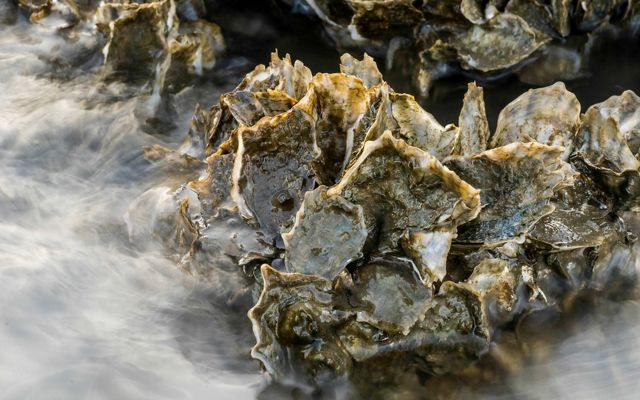 Close up of living Florida oysters.