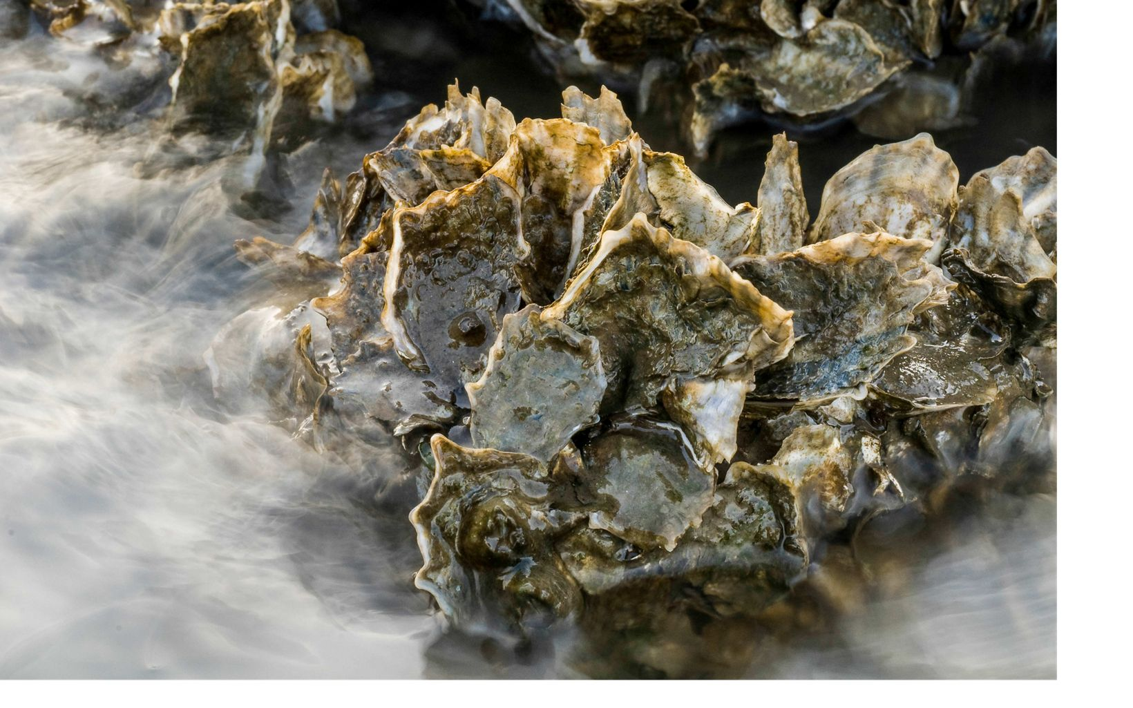 Closeup of oysters