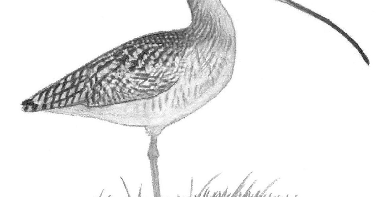 Charcoal drawing of a long-billed curlew