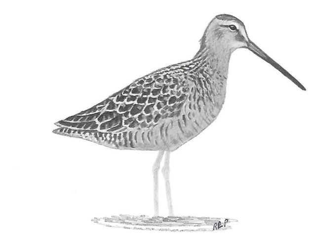 (Limnodromus scolopaceus) The long-billed dowitcher's bill is twice as long as its head.