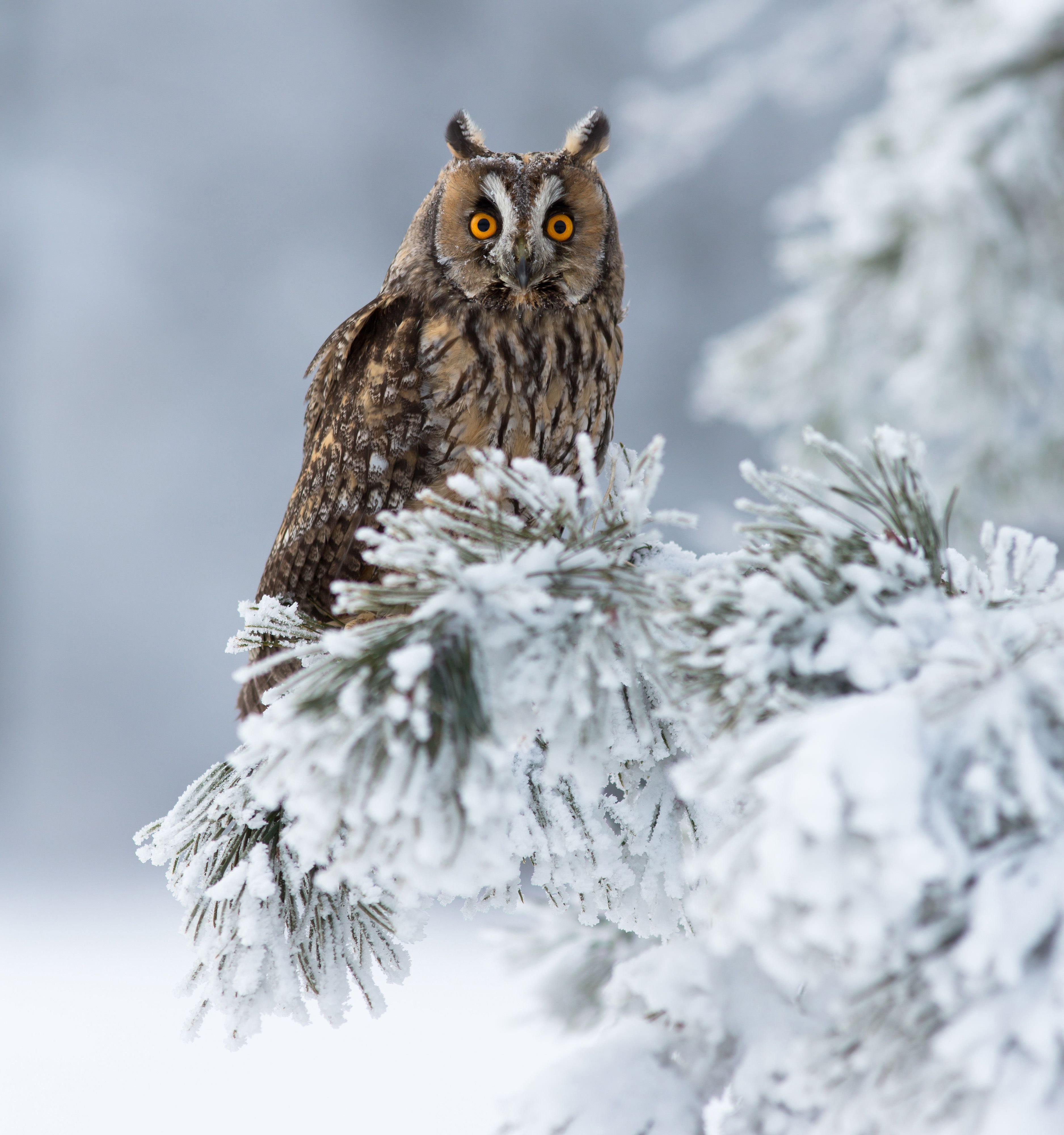 A long-eared owl perched on a snow-covered tree.