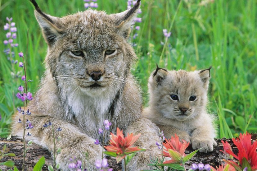 Although the lynx is now listed as a federally threatened species, winter snow track surveys show there are good numbers of lynx in Montana.