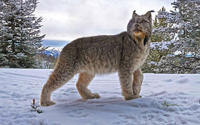 Canada lynx stands in snow and looks in the distance with backdrop of mountains